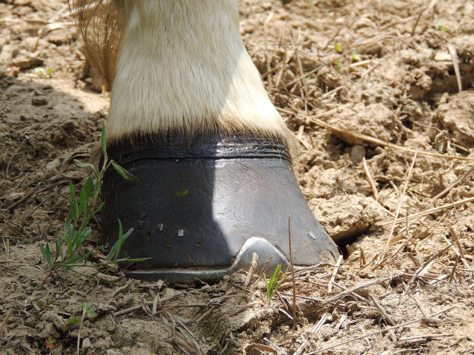 Sabot de cheval. Techniques d'élevage 2014. Image soumise à droits d'auteur.