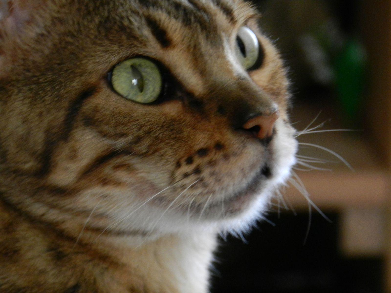 Profil de chat. Image soumise à droit d'auteurs. Techniques d'élevage 2014
