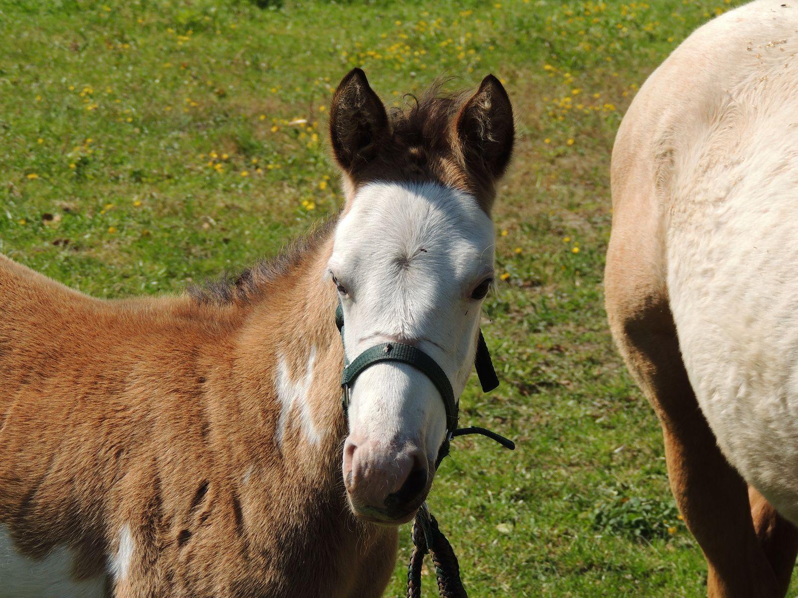 Poulain près de sa mère. Techniques d'élevage 2014. Image soumise à droits d'auteur