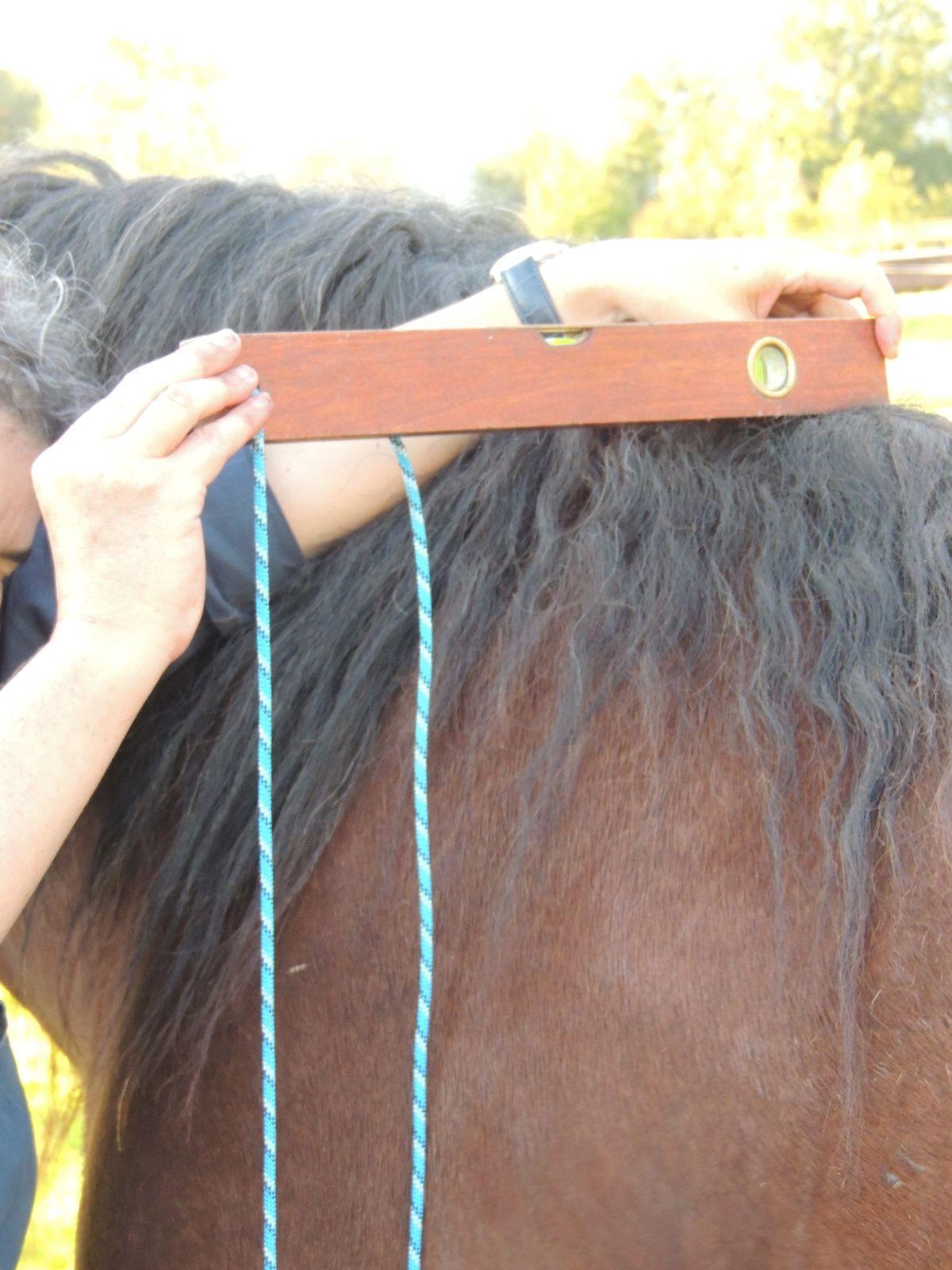 Prise de la mesure de la hauteur au garrot sur un cheval comtois. Techniques d'élevage 2014. Image soumise à droits d'auteur