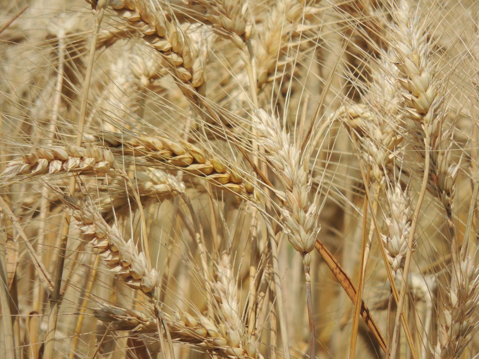 Epis de blé. Techniques d'élevage. Tous droits réservés