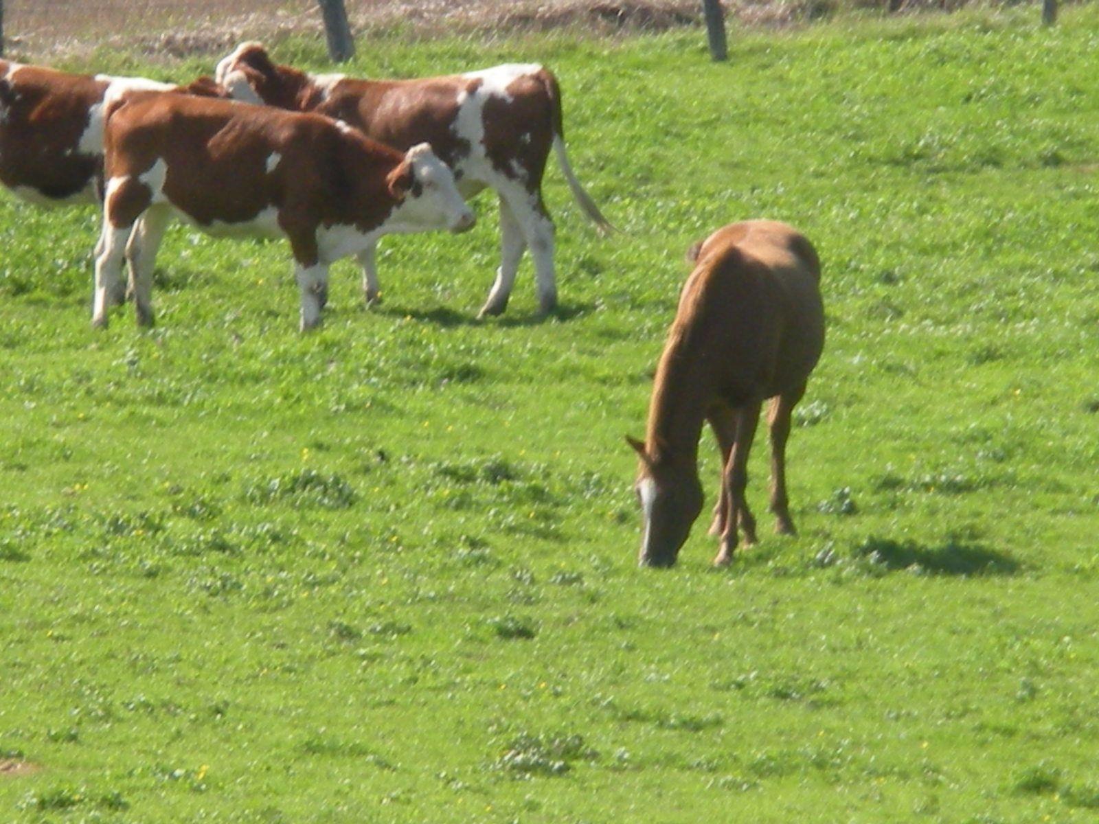 Troupeau mixte bovins - cheval. Techniques d'élevage Tous droits réservés