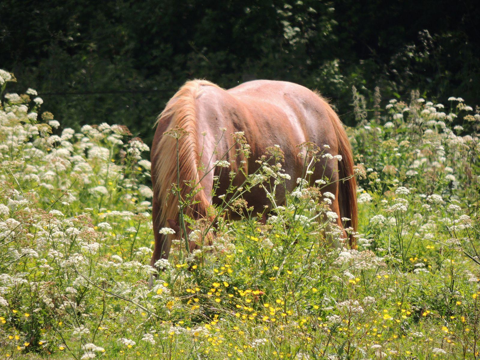 Cheval dans un pré avec herbe supérieure à 25 cm. Techniques d'élevage. Tous droits réservés.