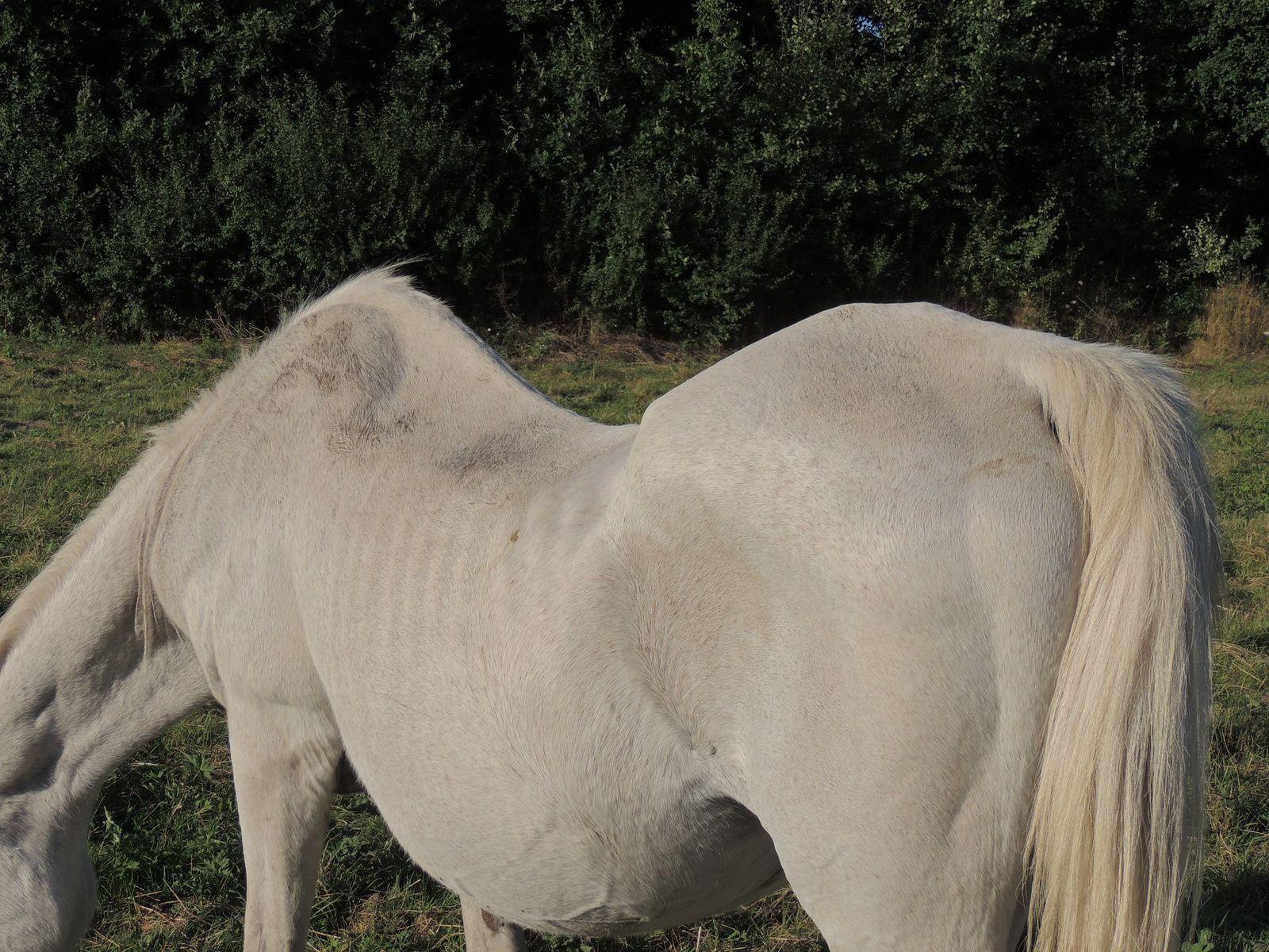 Cheval âgé. Techniques d'élevage. Tous droits réservés