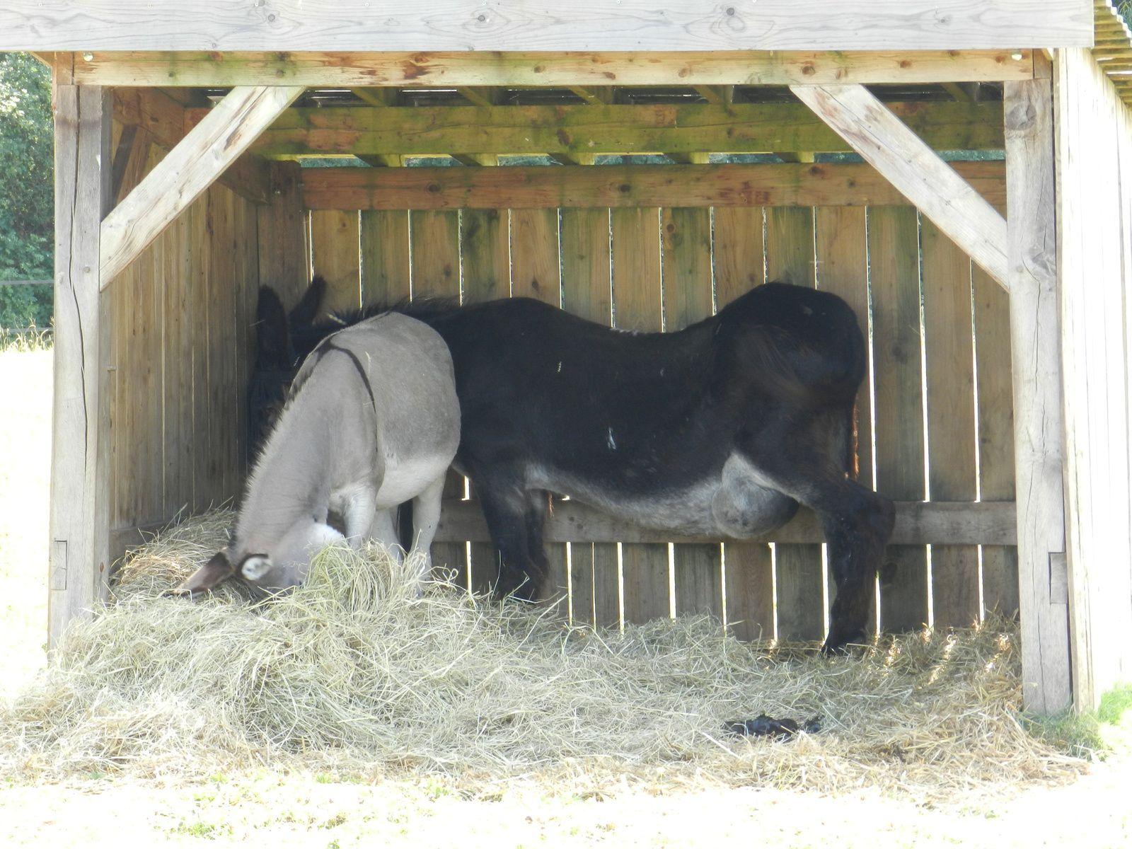Anes sous leur abri. Techniques d'élevage. Tous droits réservés.