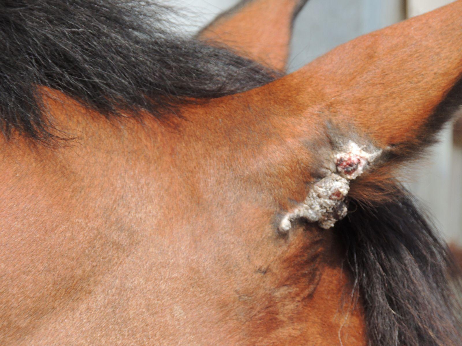 Sarcoïde au niveau de l'oreille. Techniques d'élevage. Tous droits réservés