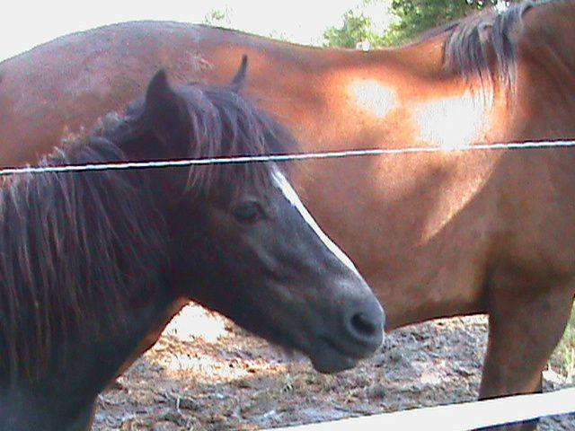 Poney et cheval dans le même pré. Techniques d'élevage. Tous droits réservés