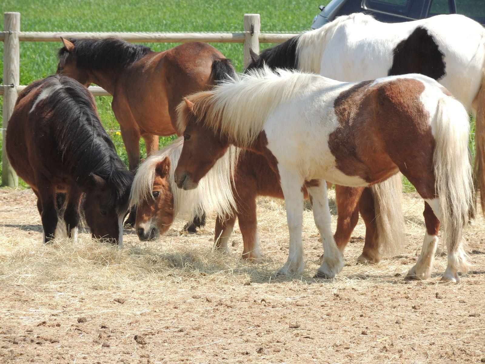 Masse corporelle du cheval