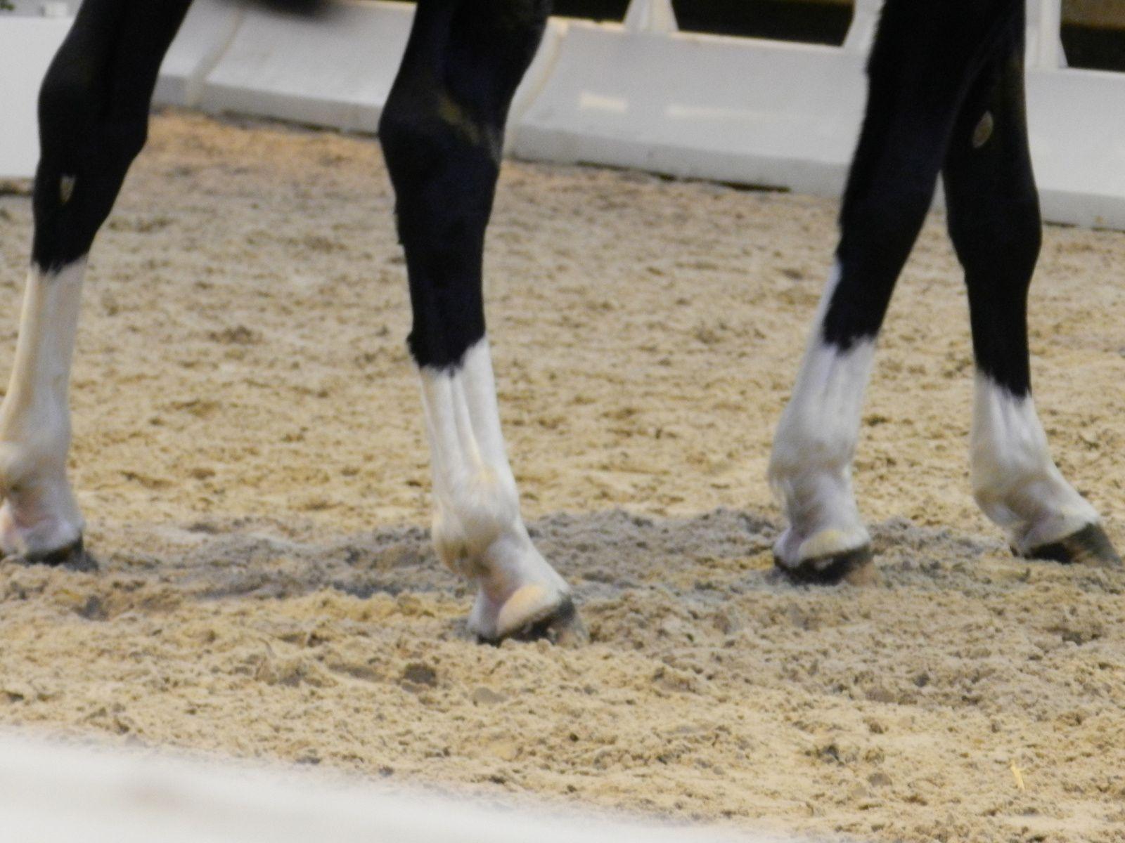 Membres d'un poney. Catherine Kaeffer. Techniques d'élevage. Image soumise à droits d'auteur.