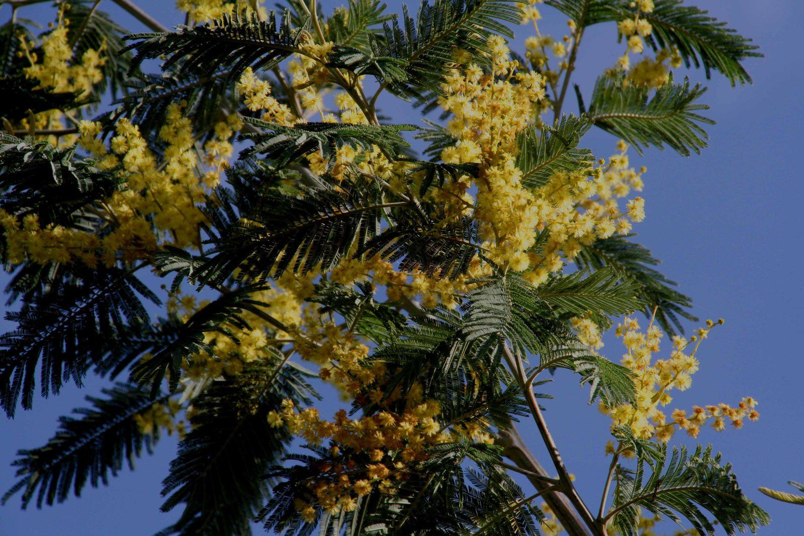 L'or du mimosa
