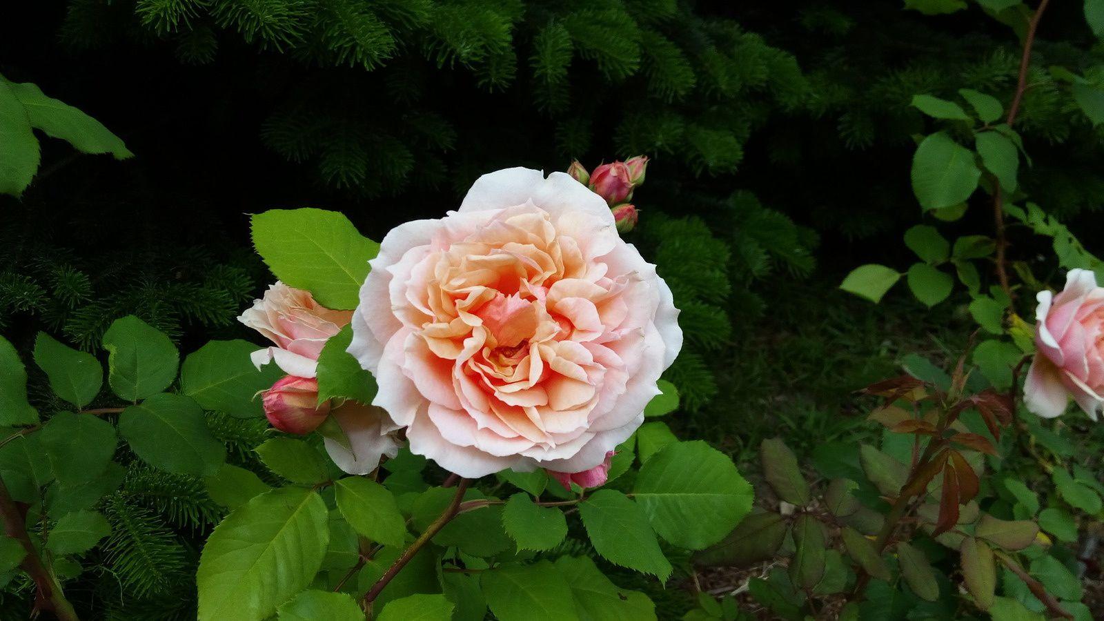 Roses de mai