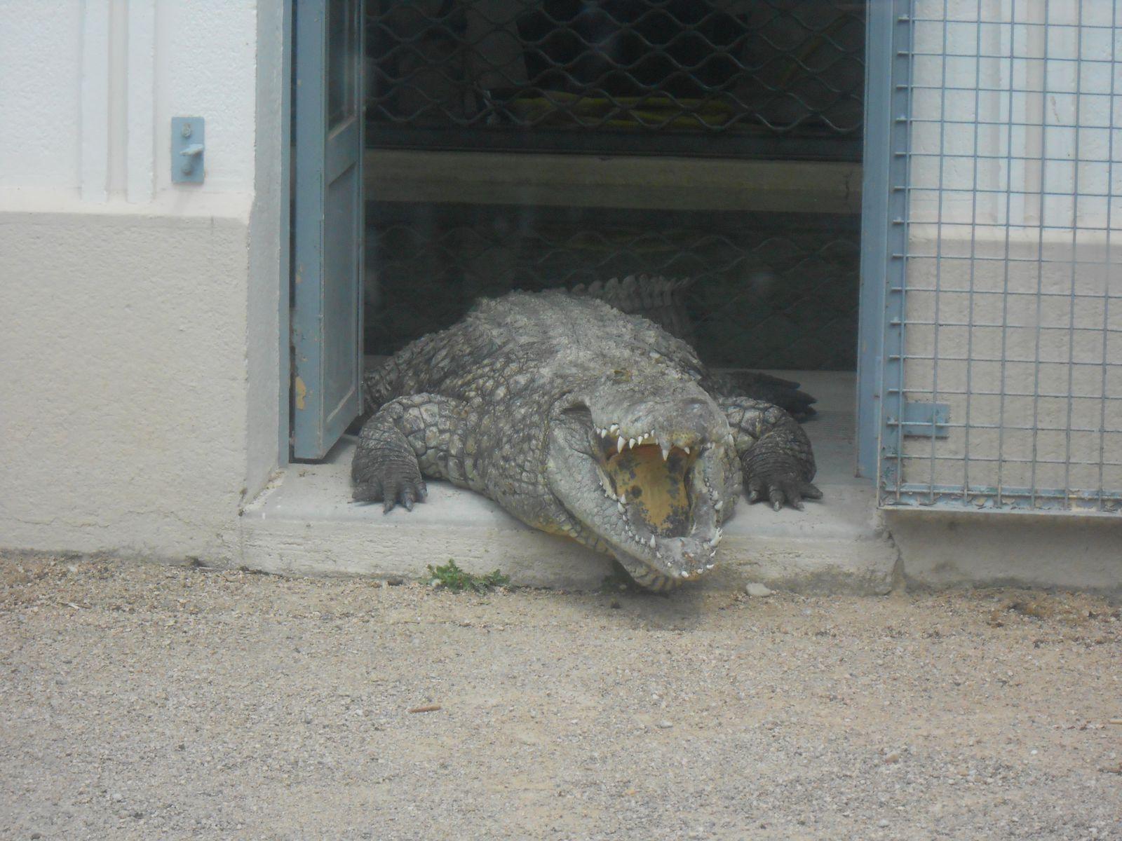 les crocodiles (Camille était folle de voir les crocodiles)