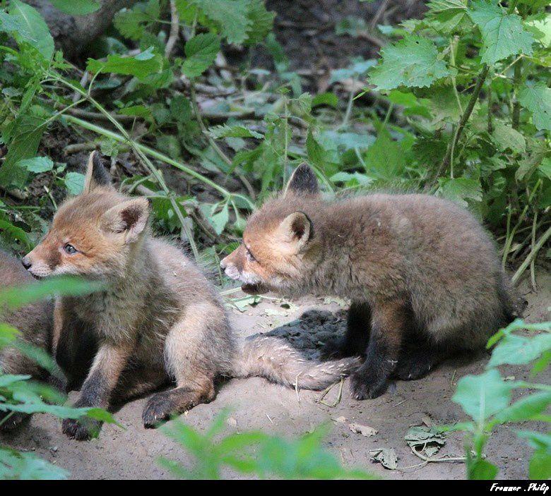 Petits  renardeaux