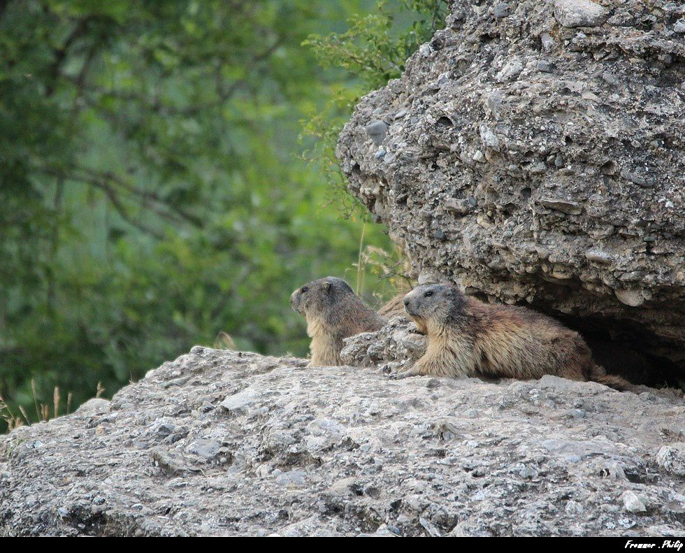 Marmotte dans  le parc national des Ecrins (Alpes)