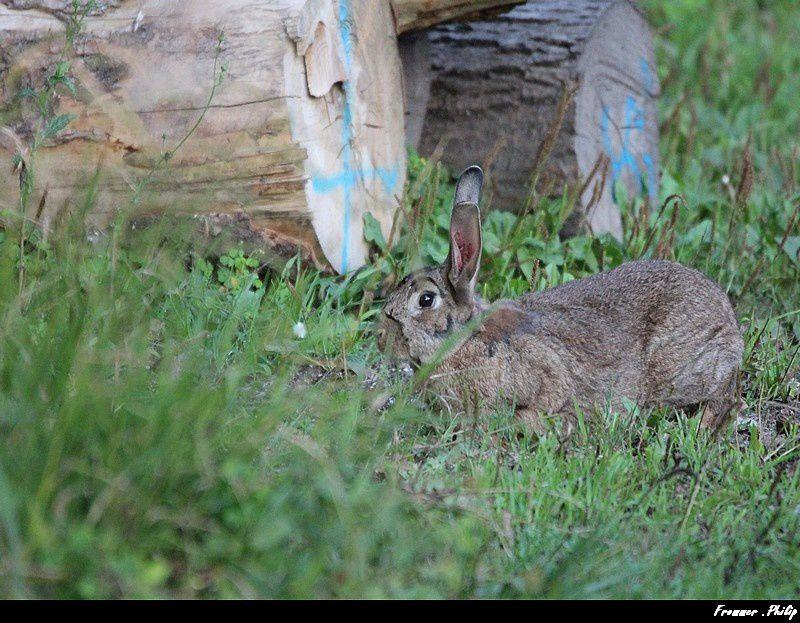 Rencontre avec un jeune Lièvre  (ou  lapin sauvage !!)