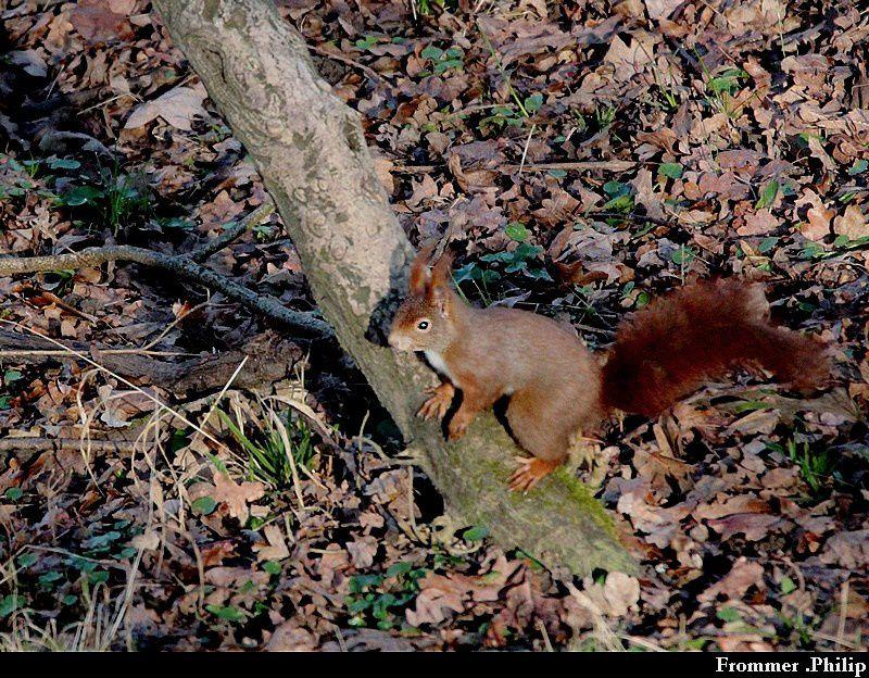 L'écureuil roux est de retour !