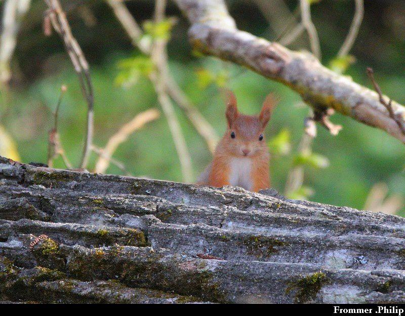 Ecureuil roux qui joue à cache-cache