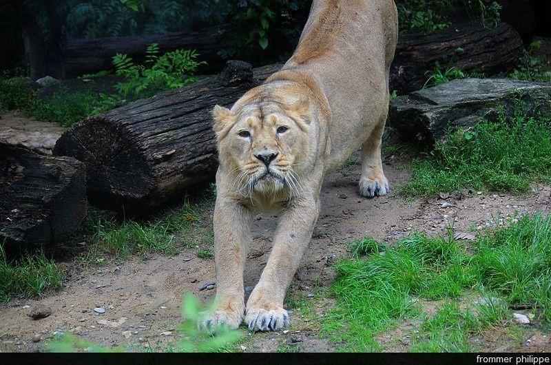 le lion, le roi  du zoo!
