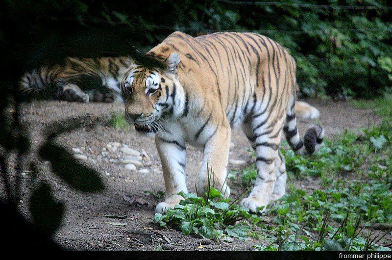 tigres de Sibérie au zoo