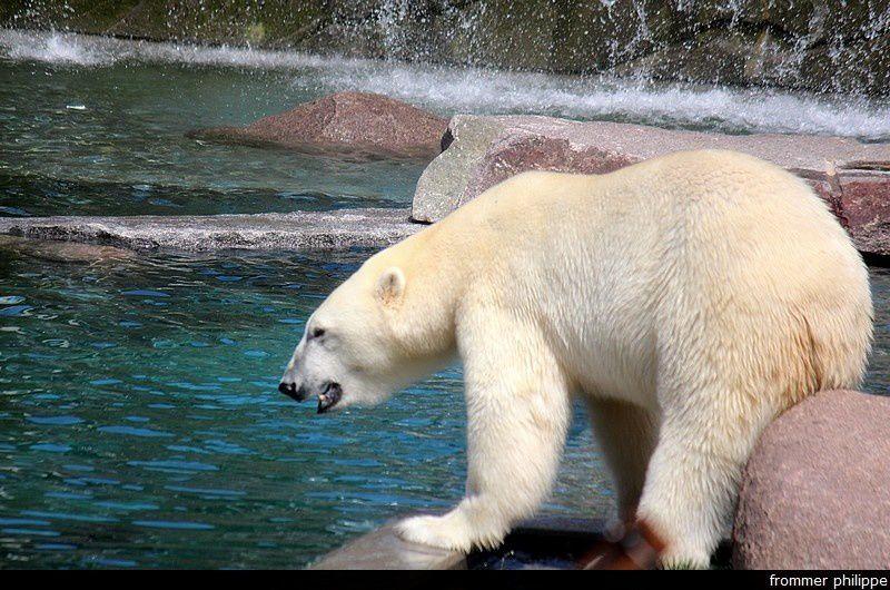 L'ours blanc la vraie star du zoo