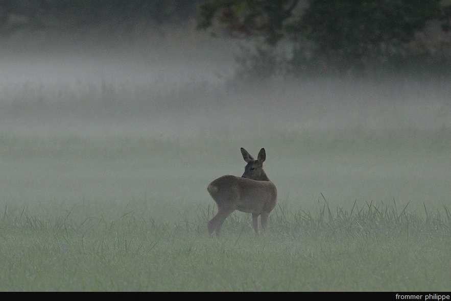 Chevreuil dans la brume