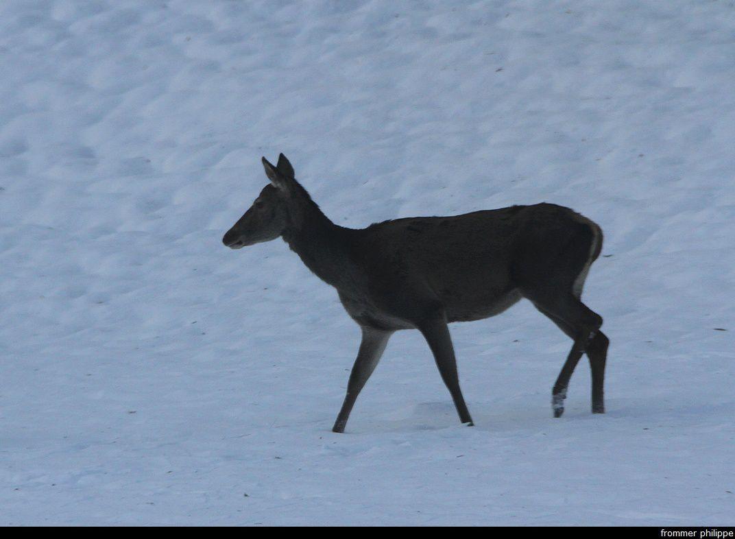 Biche dans la neige