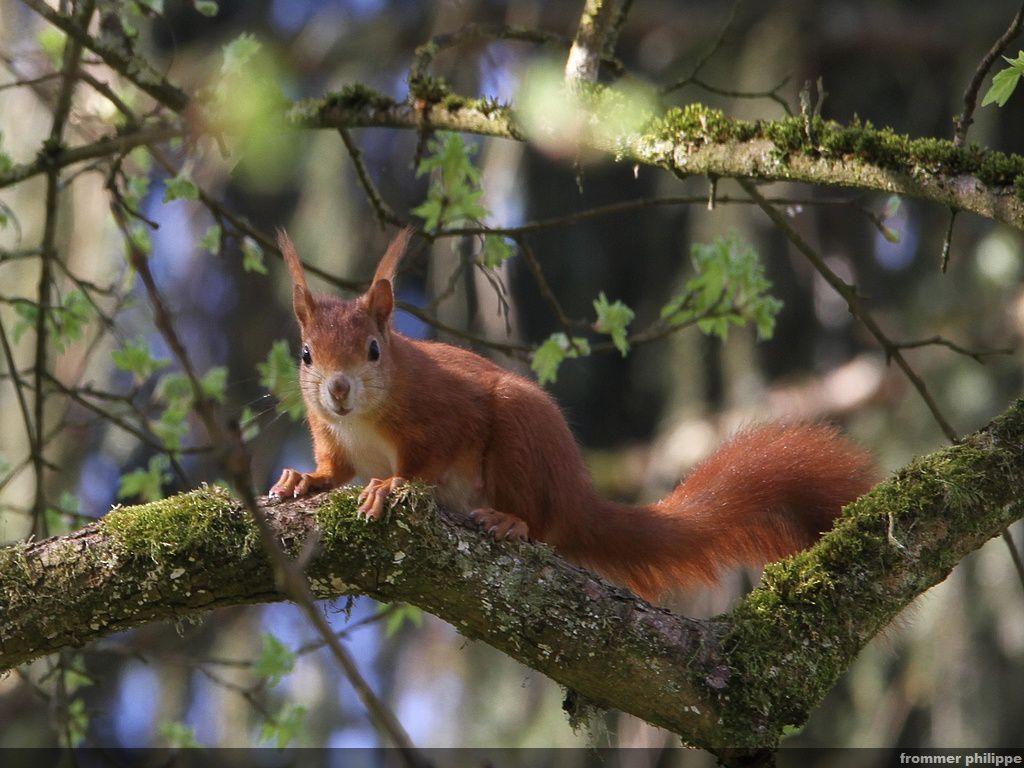 l'écureuil roux  va construit son nid