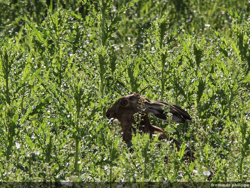 Cache -cache avec un lièvre