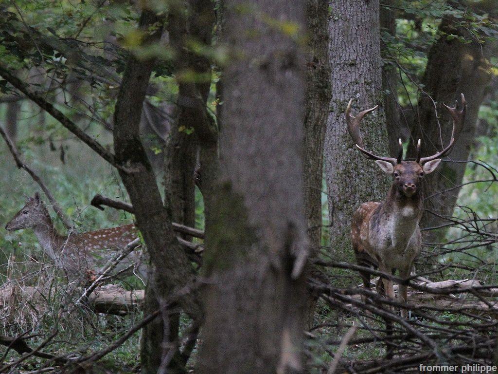 Brame dans les bois