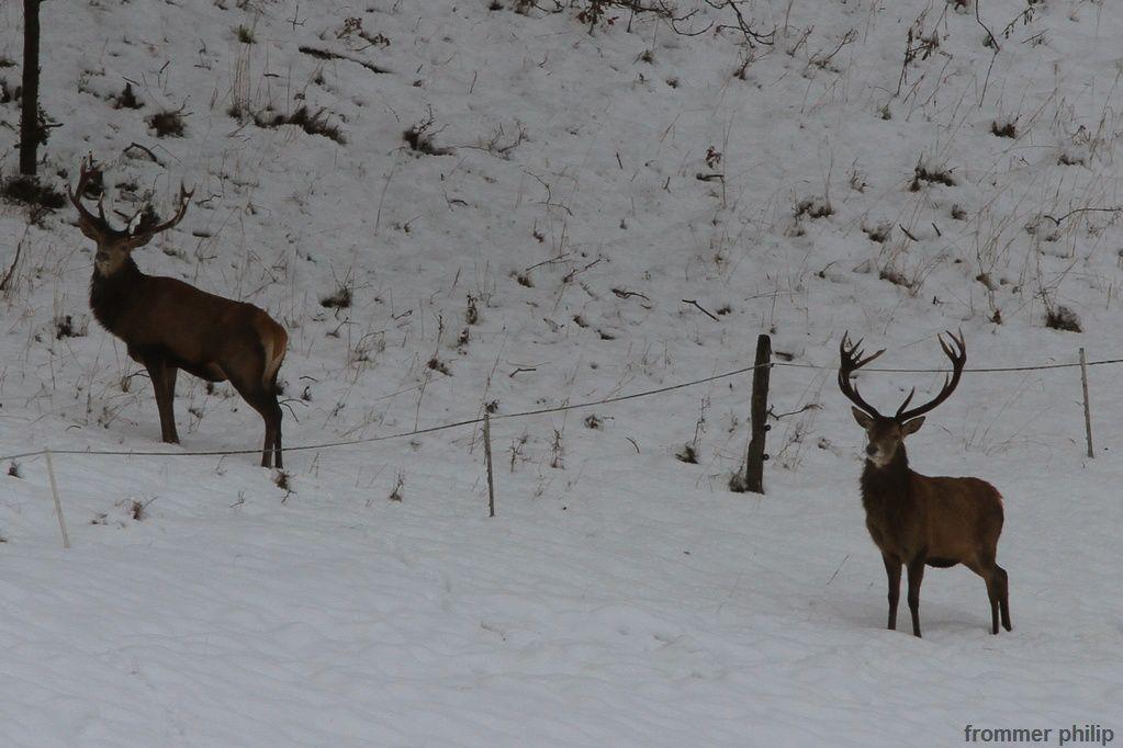 Les cerfs et la neige