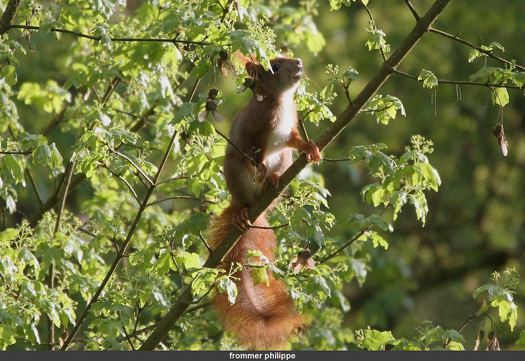 l'écureuil roux au cœur du repas