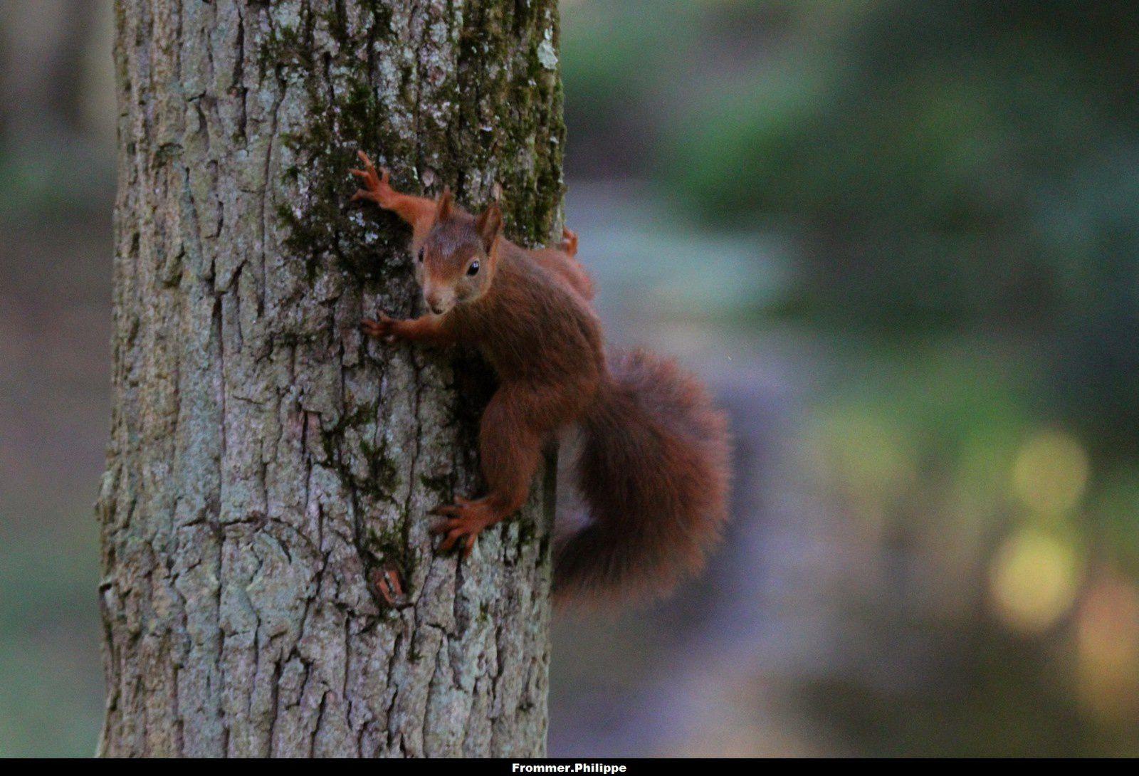 L'écureuil roux cacahuète