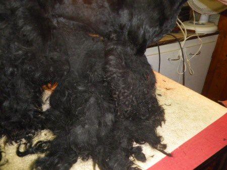 Madame PEREIRA fait une beauté à GAROU après plus de 3 heures et demi de travail et plus de 5 kilos de poils en moins GAROU est enfin un beau chien