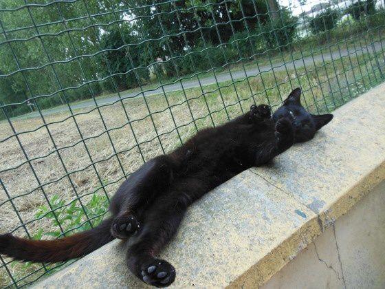 CACHOU a 4 ans c'est un beau chat tout noir avec une tâche blanche au plastron. Un peu timide au début, il devient un vrai pot de colle dès qu'il est en confiance, allant jusqu'à se rouler à vos pieds pour avoir des caresses.