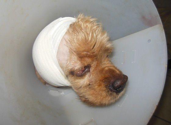 EDEN a été opérée de son oreille droite ce vendredi 11 décembre.