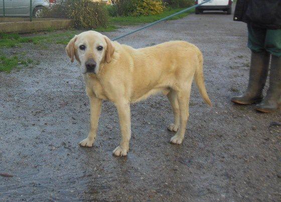 Labrador mâle trouvé à Estrees les Crécy le 11-01-16.