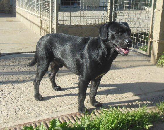 Croisé Labrador mâle trouvé à LONGPRES LES CORPS SAINTS le 23-06-16.