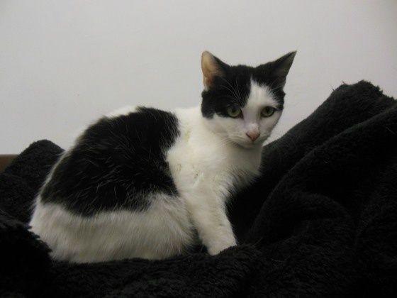 TOM-TOM est n chat d'environ 1 an et demi. Il est sociable et joueur  avec les autres chats mais reste un peu craintif de l'humain ce qui est parfaitement rattrapable à son âge.