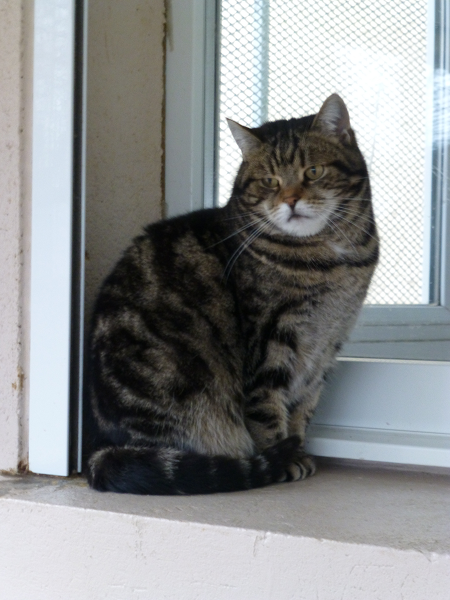 PATAPOUFFE .SOS RETRAITE: Patapouffe est une vieille chatte qui est à la chatterie depuis plus de 6 ans. Il lui faudrait une famille calme ou elle pourra passer sa retraite tranquillement.