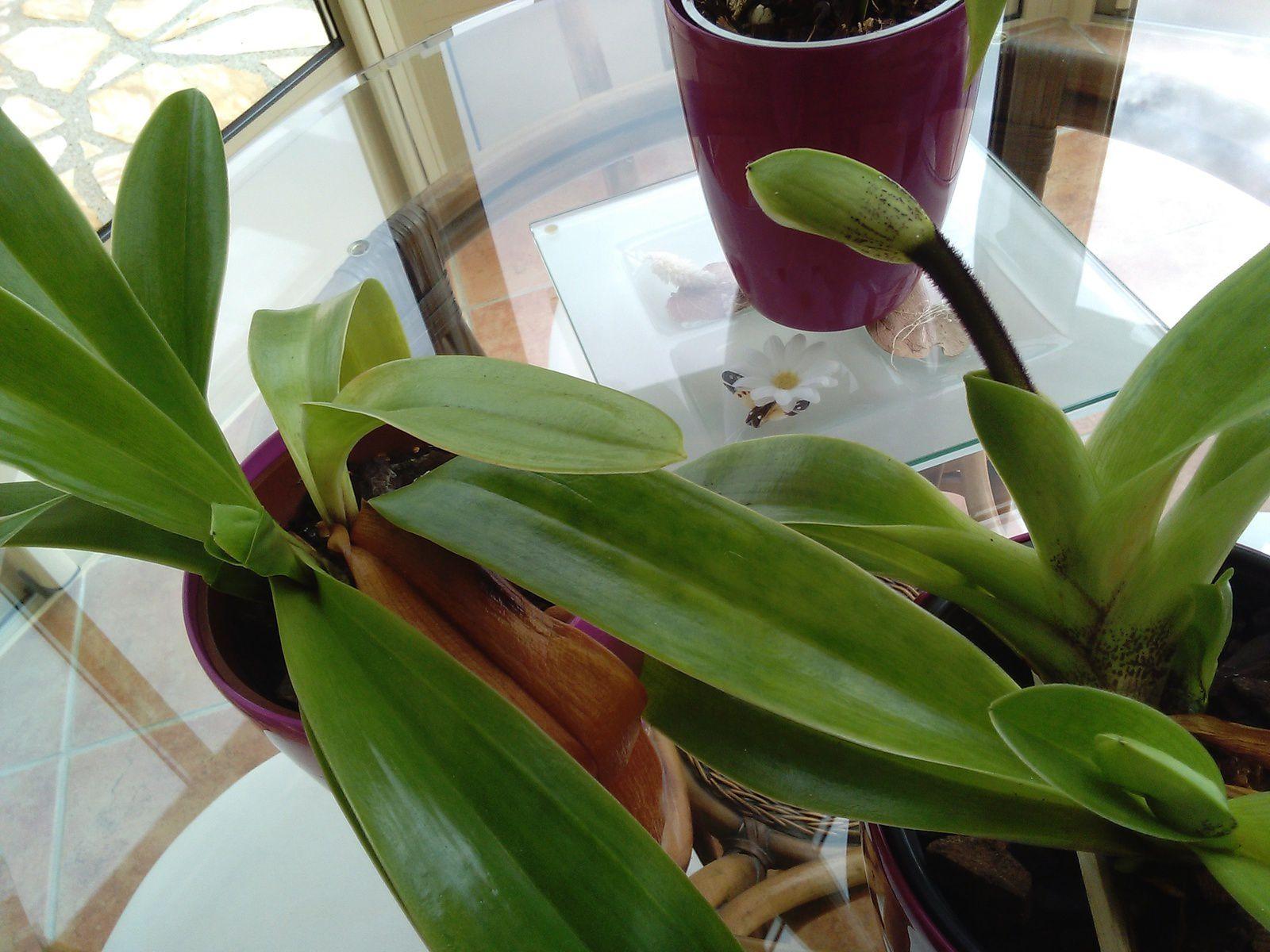 mes orchidées .