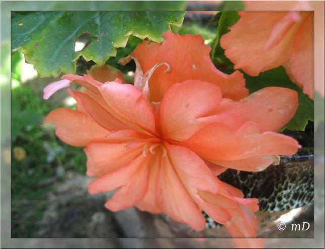 Le bégonia orange fait de la résistance