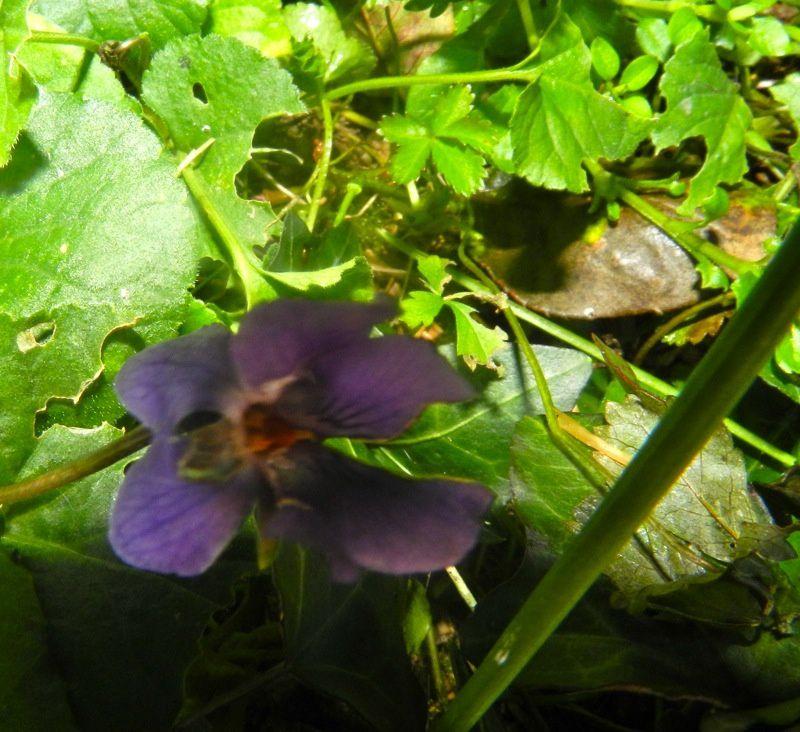 Trois violettes ne font pas le printemps