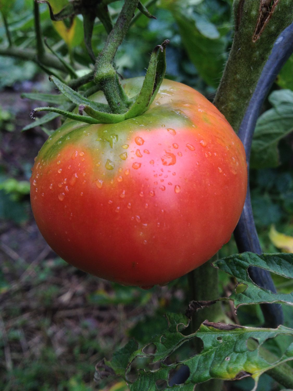 Au jardin #tomate