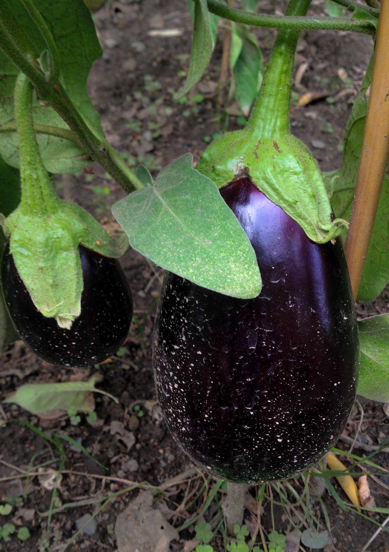 Au jardin #aubergine