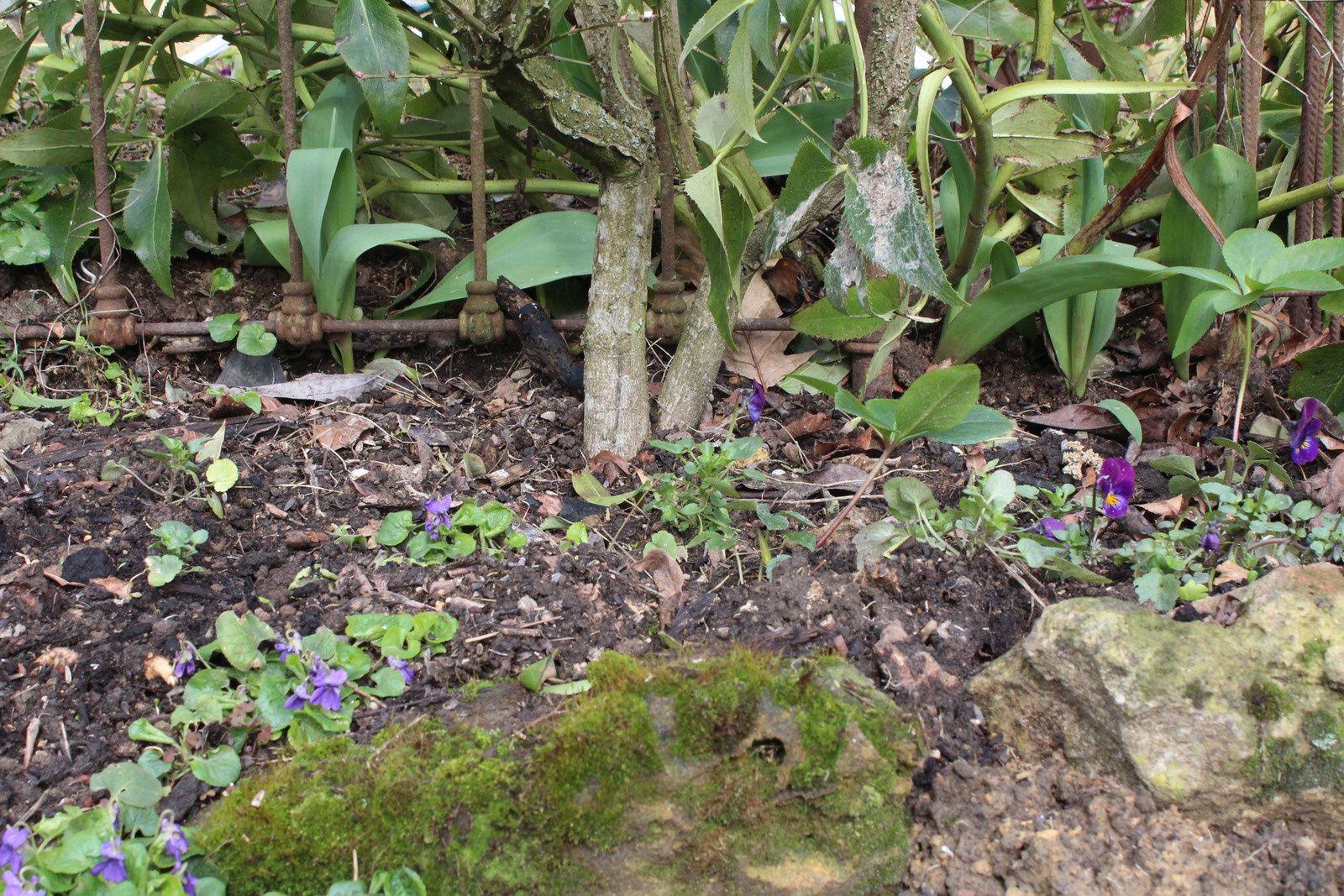 Cette année recrudescence de violettes partout dans le jardin  la météo leur à plu.les violettes roses sont là merci ingrid ,les violettes doubles de toulouse aussi ,celle de fred vont bien, les blanches, les violettes, les pourpres ...  c'est génial tout ça .