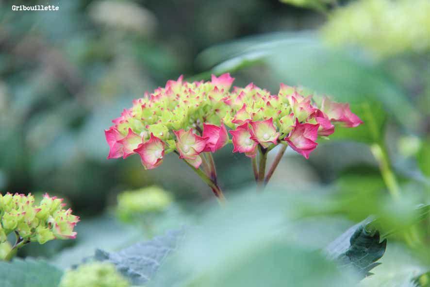Hortensias de mon jardin