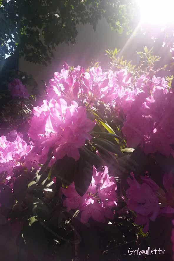 P52#23_Flare_une partie des rhododendrons de mon jardin
