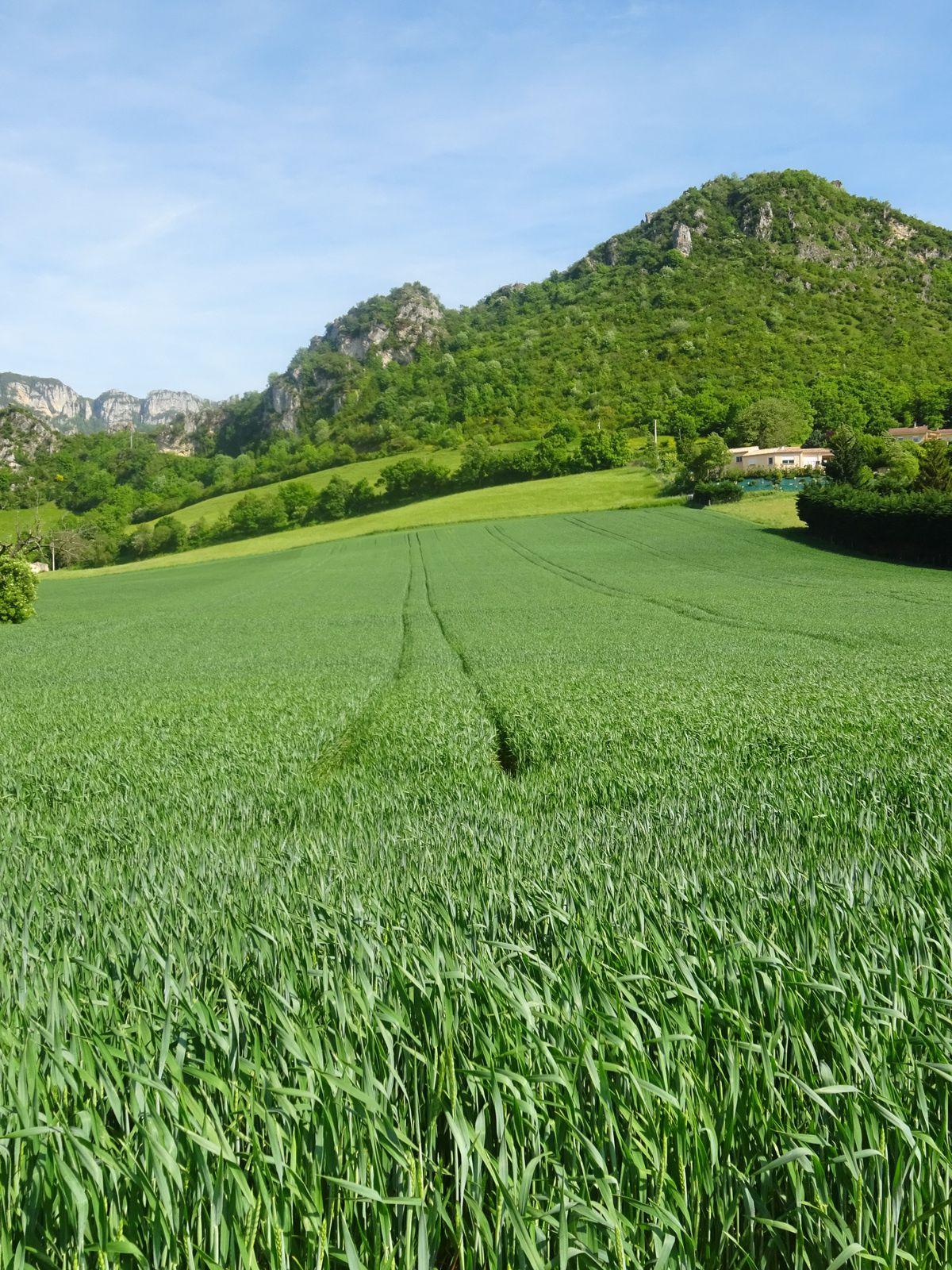 Après les sommets, nous retrouvons les champs de blé ....
