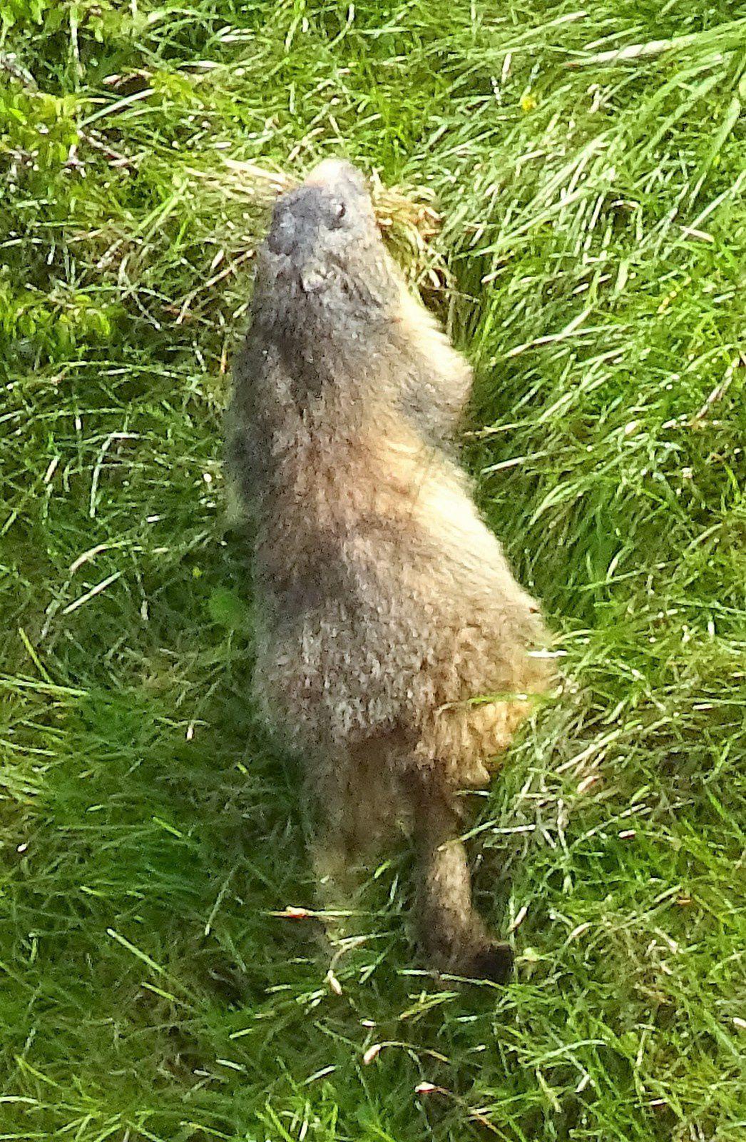 Une marmotte qui ne nous a montré que son dos ! Et pas son joli minois ! Dommage !