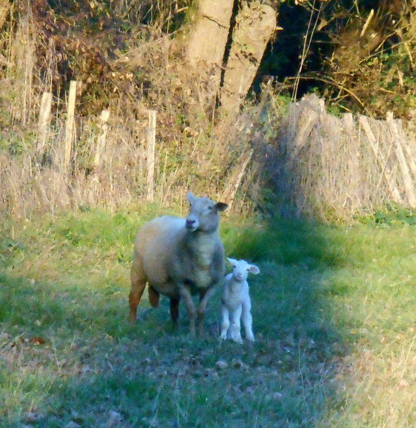 Le mouton nouveau est arrivé !